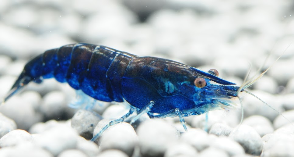 blue dream shrimp freshwater shrimp the shrimp farm