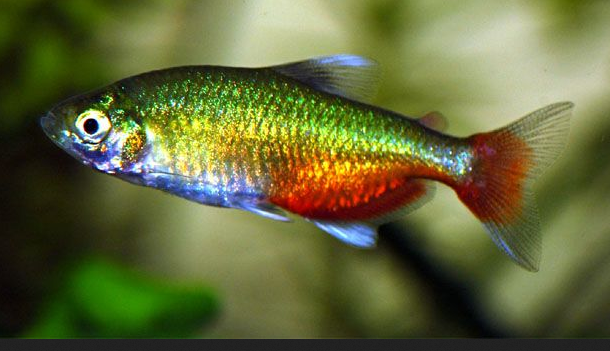 Green fire tetra for Neon freshwater fish