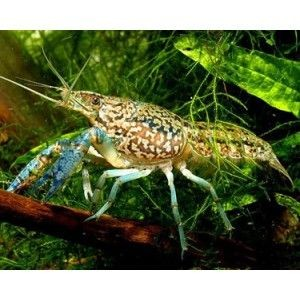 6 Self-Cloning Crayfish (Marble)