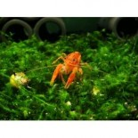 Dwarf Orange Crayfish (CPO)