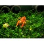 Dwarf Orange Crayfish (CPO) - Sale Good Thru 10/26