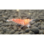 Red Tiger Shrimp