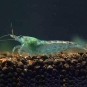 10 Blue Pearl Shrimp