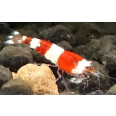 5 Crystal Red Shrimp