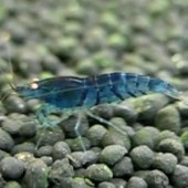 1 Blue Tiger Shrimp - Orange Eyed