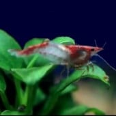 5 Red Rili Shrimp