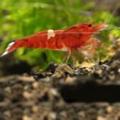 1 Wine Red Shrimp