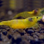10 Yellow Shrimp