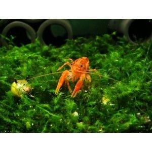 Freshwater Dwarf Orange Mexican Crayfish CPO Safe With