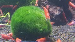 Cherry Shrimp on Moss Ball