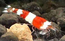 Grading Crystal Red Shrimp