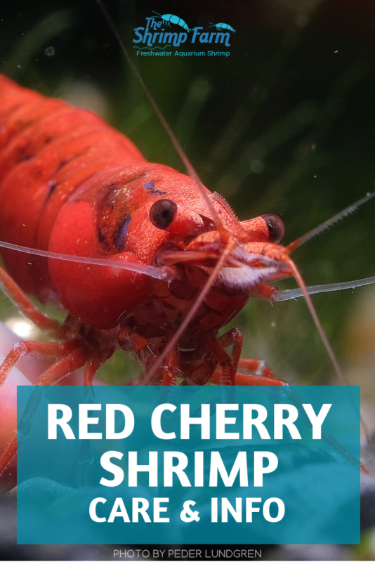 How to care for Red Cherry Shrimp: Perfect beginner aquarium shrimp #aquariums #aquatic