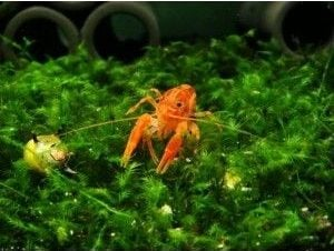 dwarf orange crayfish