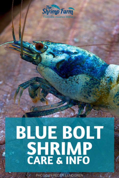 How to care for the beautiful Blue Bolt Shrimp in your aquarium #aquariums #pets