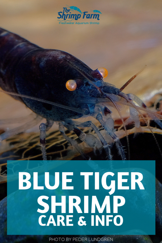 Keeping Blue Tiger Shrimp in your aquarium: Everything you need to know #aquatic #aquariums