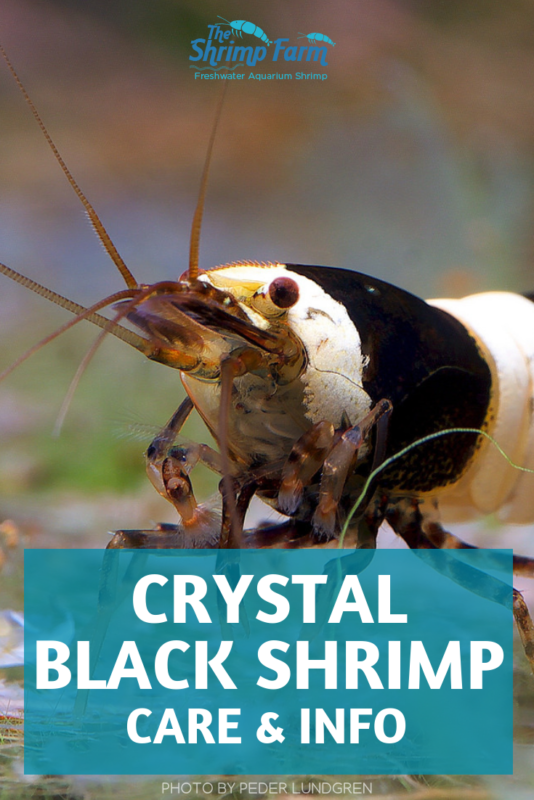 Crystal black shrimp care & info: keeping Caridina dwarf shrimp in your aquarium #aquatic #pets