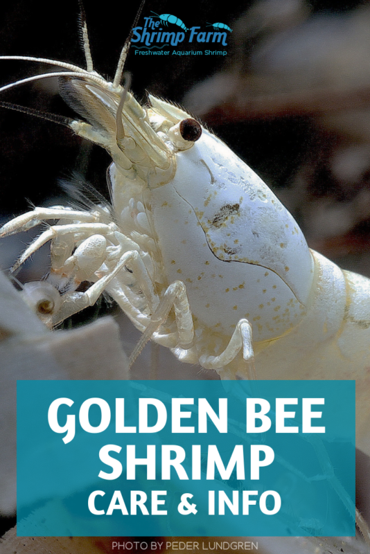 Gold star! How to care for Golden Bee Shrimp (Caridina genus) in your aquarium #fishtanks #aquatic