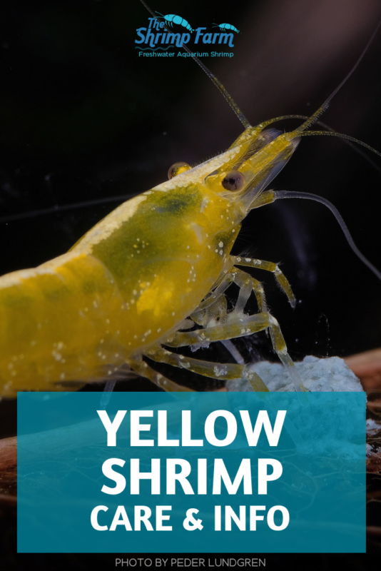 Caring for yellow aquarium shrimp (beginner-proof!) #aquariums #pets
