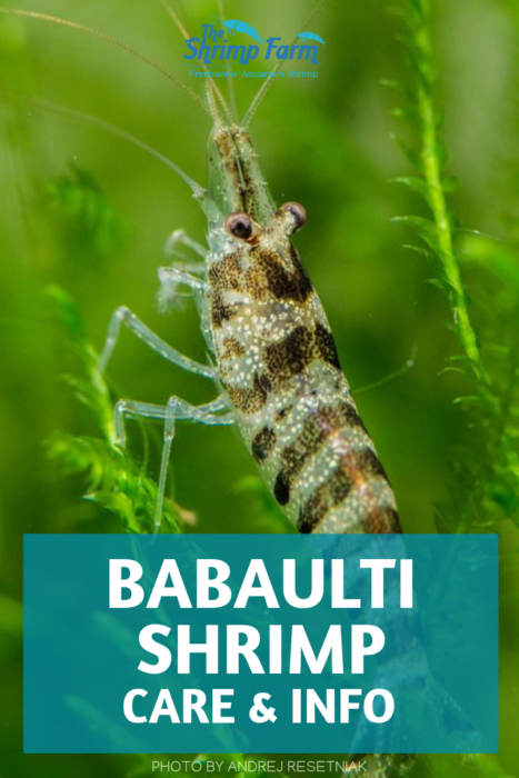 How to care for Babaulti shrimp in your aquarium #pets #aquatic