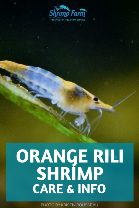 Keeping Orange Rili Shrimp in your aquarium: everything you need to know #aquariums #pets