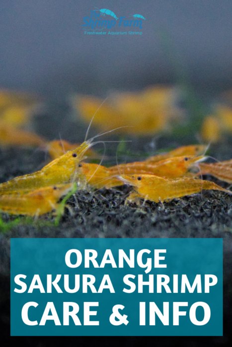 How to care for the orange Sakura shrimp in your aquarium #pets #aquariums