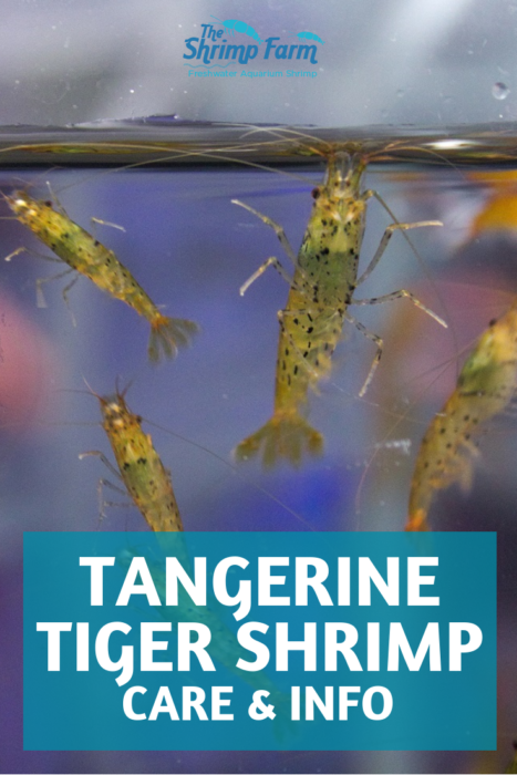 How to keep the beautiful tangerine tiger shrimp in your freshwater aquarium #pets #aquatic