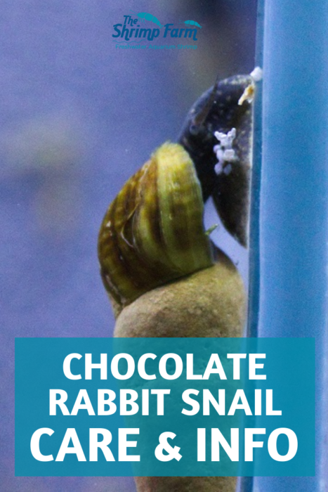 How to care for the chocolate rabbit snail in in your aquarium #aquariums #aquatic