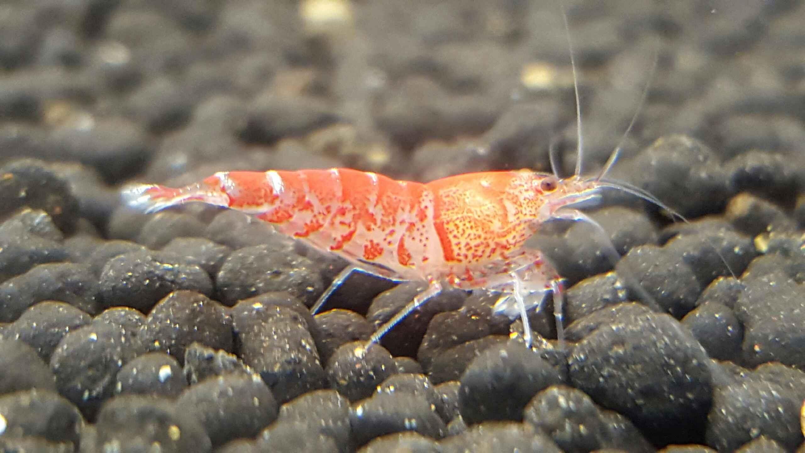 Red Tiger Shrimp