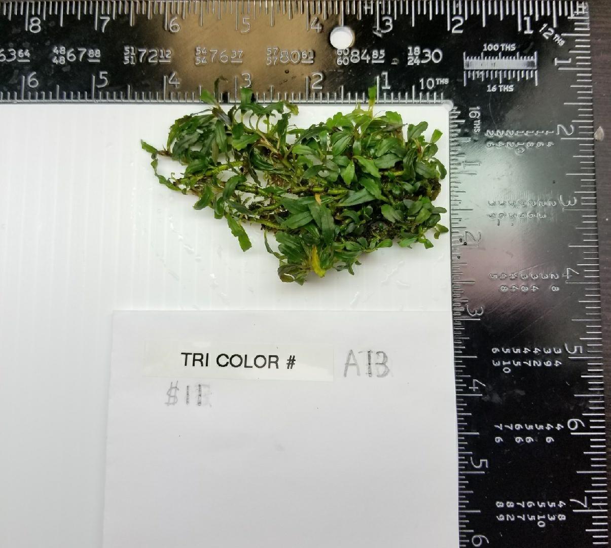 Buce Tricolor