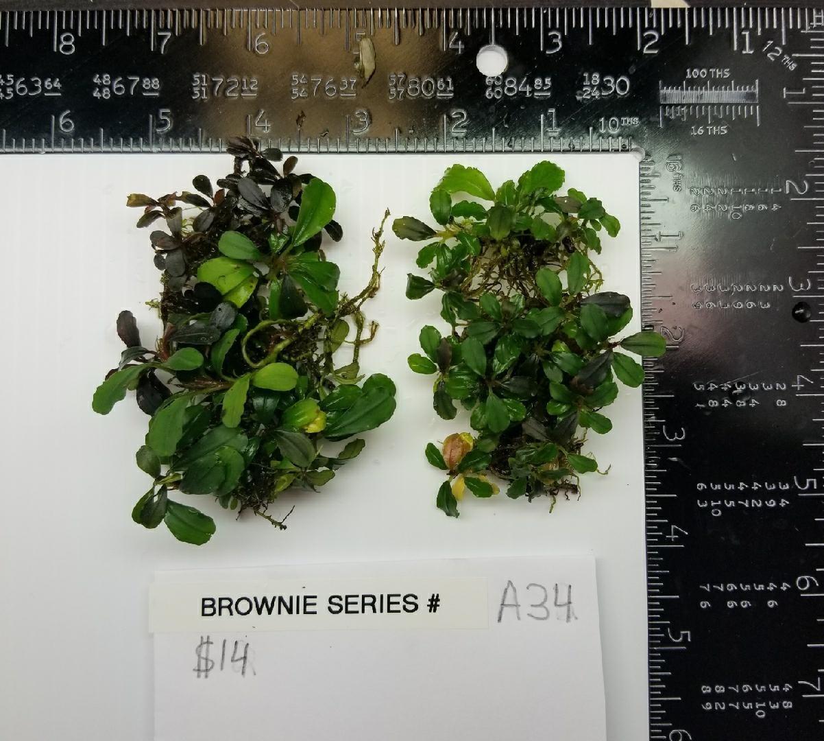Buce Brownie Series