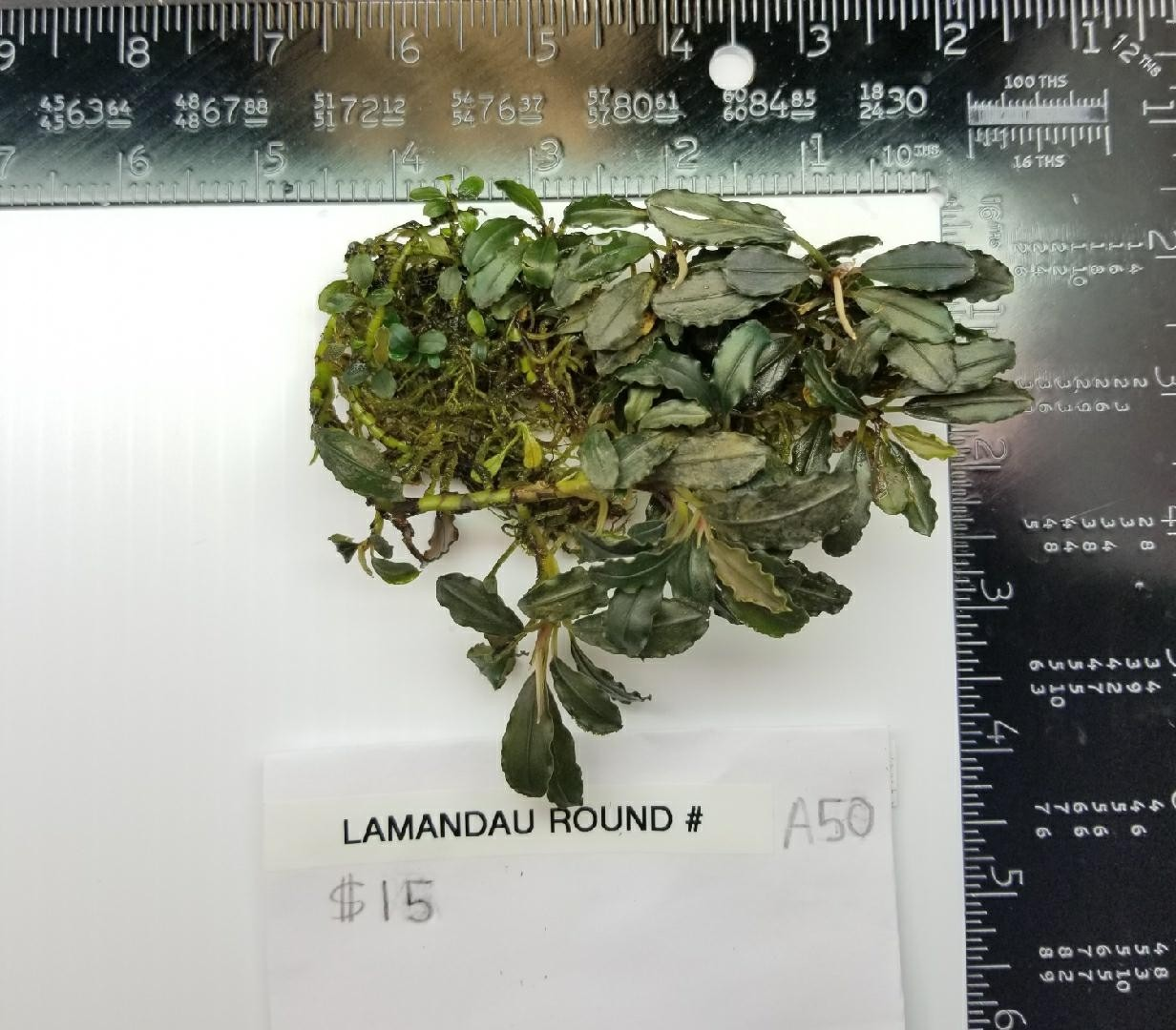 Buce Lanandau Round