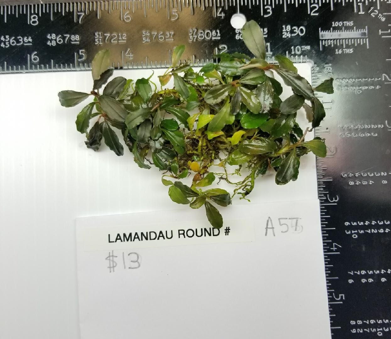 Lamandau Round Buce - A57