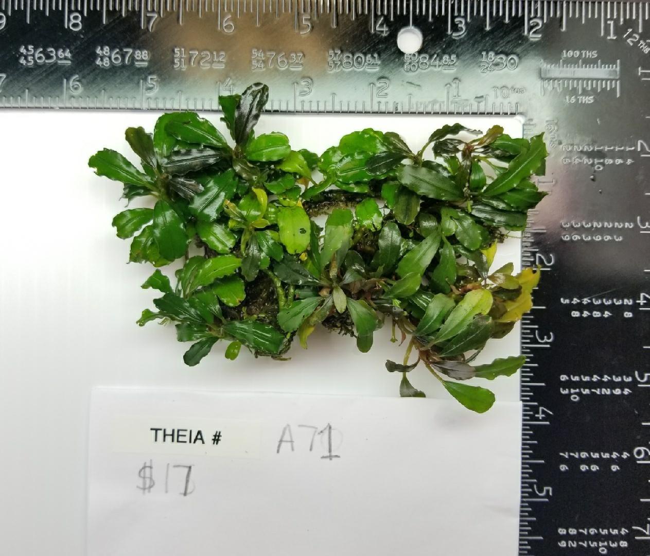 Buce Theia A 71