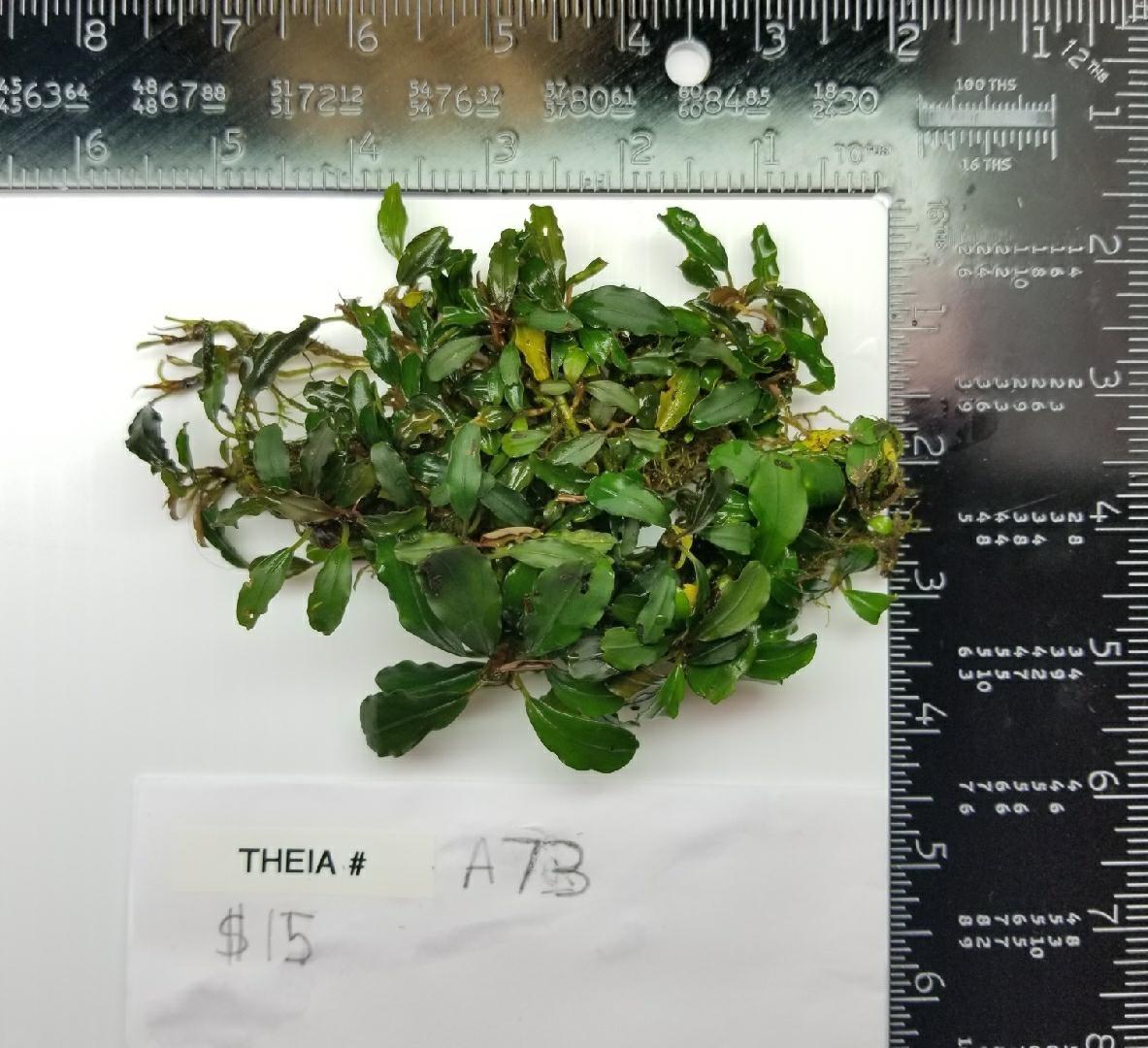 Buce Theia