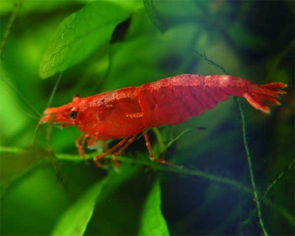 fire red shrimp for sale