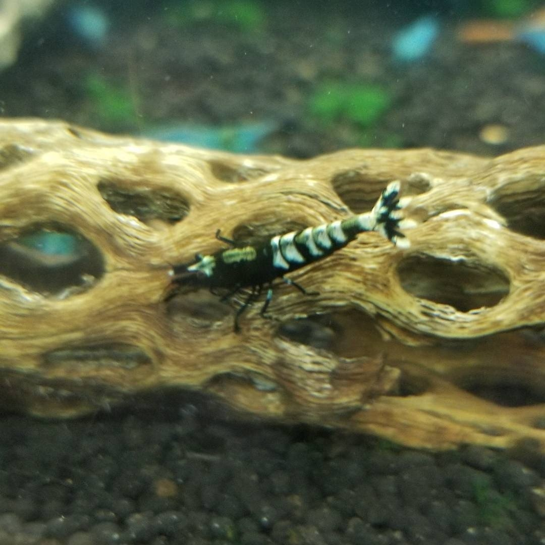 Black Fishbone Pinto Shrimp