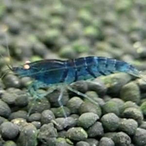 5 Blue Tiger Shrimp Orange Eyed