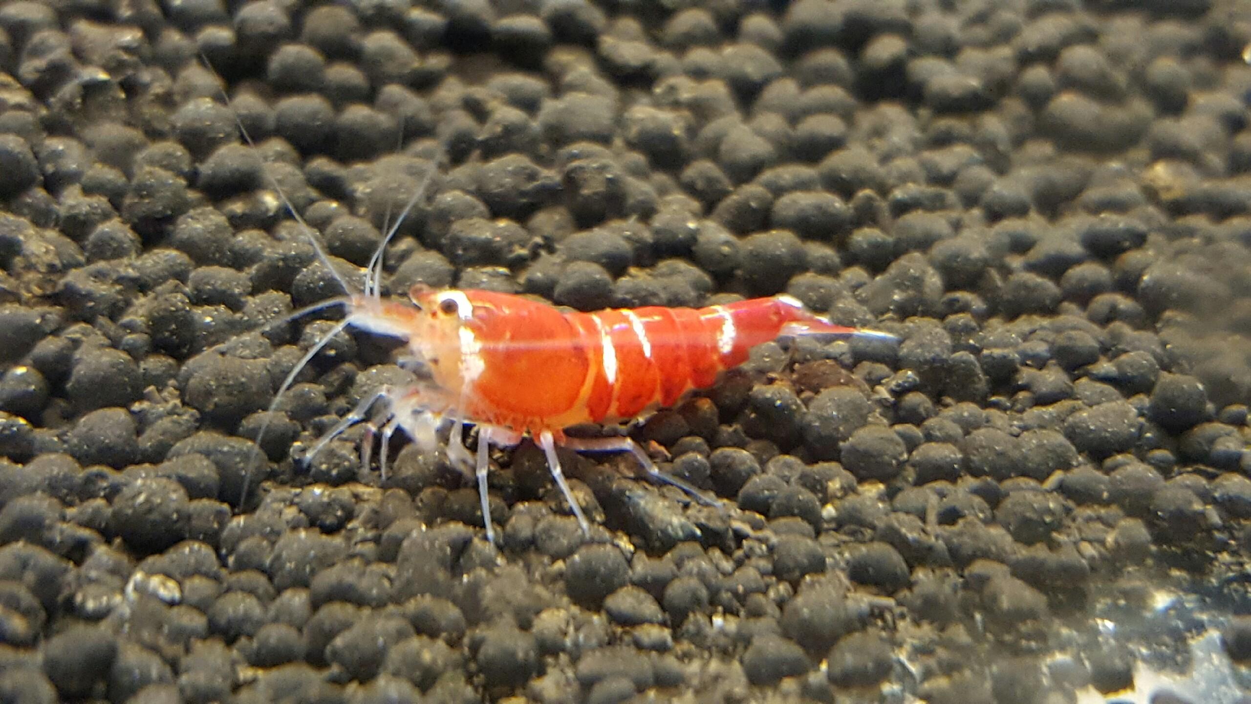 Super Crystal Red Shrimp