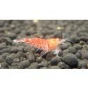 5 Red Tiger Shrimp