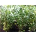 Water Wisteria - Hygrophila difformis