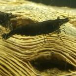 Black Rose Neocaridina Shrimp