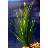 Jungle Val, Straight vallisneria, Vallisneria Spiralis, live aquarium plant