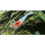 Little Red Riding Hood Shrimp