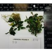 Lamandau Round Buce - A58