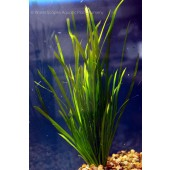Jungle Val, Straight vallisneria, Vallisneria Spiralis, live aquarium plant