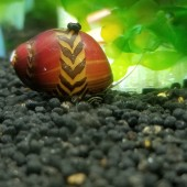 Red Racer Nerite Snails
